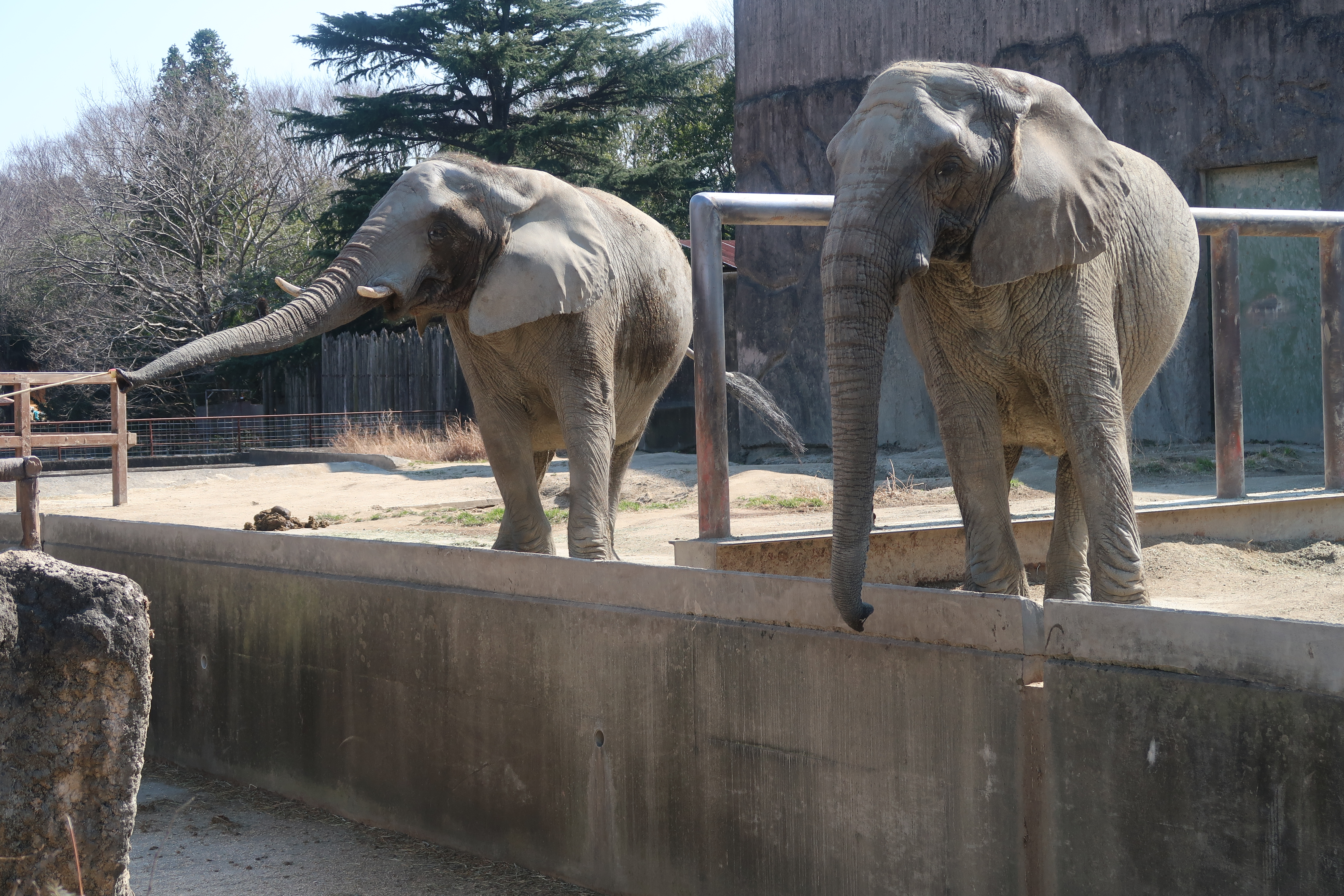 ゾウさんのランチタイムはアフリカゾウ2頭が接近で迫力満点